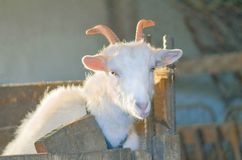 农业繁殖的山羊 白色山羊画象 图库摄影