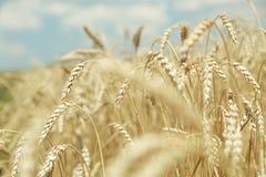 农业背景 麦子的成熟金黄小尖峰在领域的 免版税库存图片