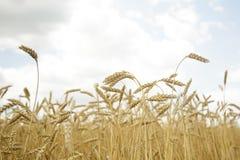 农业背景 麦子的成熟金黄小尖峰在领域的 库存照片
