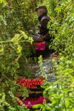 农业蕃茄收获 库存图片