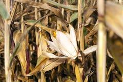 农业领域用干玉米 免版税库存照片
