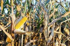 农业领域用玉米 免版税库存图片