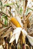 农业领域用玉米 库存图片