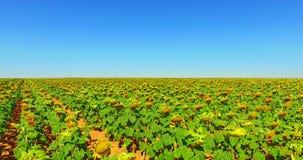 农业风景用向日葵 股票视频