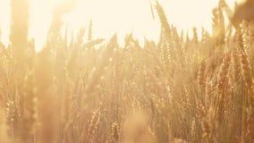 农业食物生产黄色领域黑麦麦子 股票录像