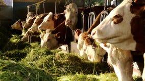 农业,农田,母牛 影视素材