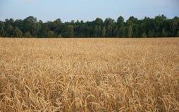 农业,种田,成熟的麦子耳朵的谷物、领域或ry 免版税图库摄影