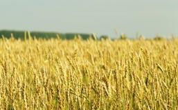 农业,种田-谷物在领域的成长期间 图库摄影