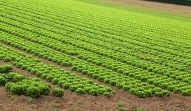 农业:绿色莴苣的领域 库存图片