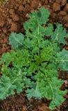 农业 生长年轻圆白菜照片在庭院里 库存图片