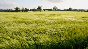 农业-风-大麦庄稼  股票视频