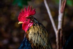 农厂五颜六色的雄鸡头 免版税库存图片