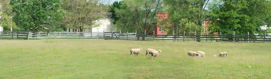 农厂吃草全景的绵羊领域 免版税库存照片