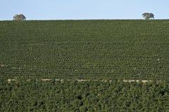 农厂咖啡种植园在巴西 库存照片