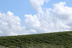 农厂咖啡种植园在巴西 库存图片