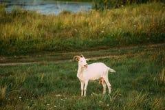 农厂山羊在绿色夏天草吃草在一个晴朗的晚上 山羊 库存照片