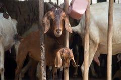 农厂山羊 免版税库存图片