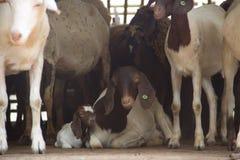 农厂山羊 库存图片