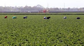 农厂工人在Oxnard 库存图片