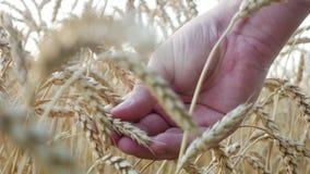 农厂工人手检查麦子的熟或疾病耳朵 股票视频