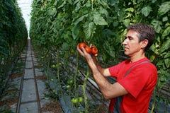 农厂工人采摘蕃茄 免版税库存照片