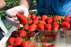 农厂工人采撷和包裹草莓 免版税库存照片