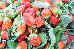 农厂新鲜的草莓 免版税库存照片