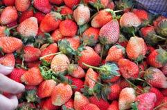 农厂新鲜的草莓 免版税图库摄影