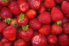 农厂新鲜的草莓 免版税库存图片