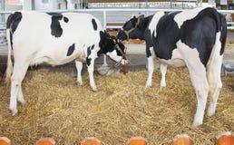农厂母牛 免版税库存照片