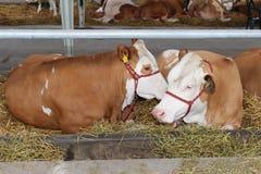 农厂母牛 库存图片