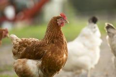 农厂母鸡 库存图片
