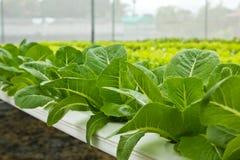 农厂水耕的蔬菜 免版税图库摄影