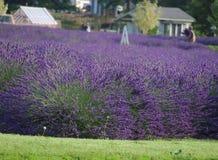 农厂淡紫色 免版税库存照片