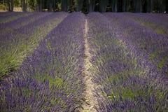 农厂淡紫色 库存图片