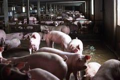 农厂猪,走在猪圈,神色喜欢哀伤,可以` t去outsid 库存照片