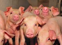 农厂猪 图库摄影