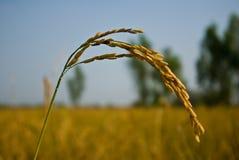 农厂米 库存照片