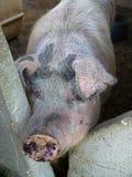 农厂结转猪 免版税库存图片