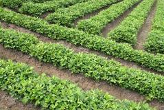 农厂绿色花生 免版税库存照片