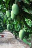 农厂芒果 库存图片