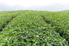 农厂茶 图库摄影