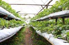 农厂草莓 免版税库存照片