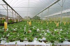 农厂草莓 图库摄影