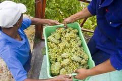 农厂葡萄绿色收获的工作者 库存照片