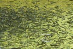农厂鳟鱼 库存照片