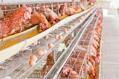 农厂鸡鸡蛋。 免版税库存照片