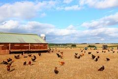 农厂鸡 图库摄影