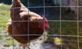 农厂鸡 免版税库存照片