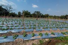 农厂黄瓜在领域增长 库存照片